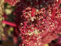 Amaranth flower with seed