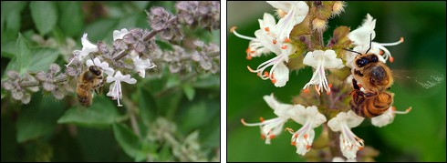 Bees on basil flowers