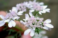 Cilantro Flower