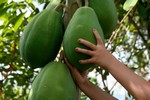 Growing Papaya