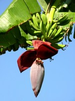 Growing Bananas