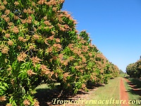 Growing mango trees in orchard