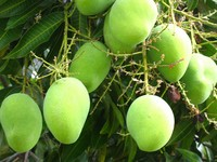 Growing Mangoes
