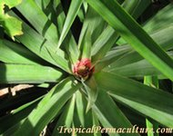 A mature pineapple plant ready to flower.