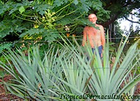 My neighbour Henry behind his pineapples.