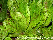 Freckkles Lettuce