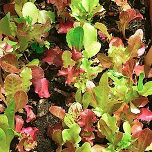 Young lettuces growing