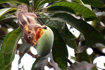 Mango marauder