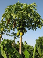 Mature Papaya Tree.