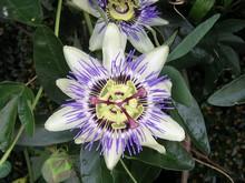 Passionfruit Flower