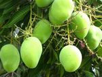 Growing Mango