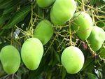 Growing Mango