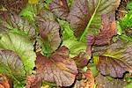 Growing Salad Vegetables