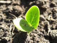 Watermelon Seedling