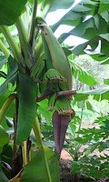 Bananas still growing straight