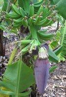 Bottom hands on banana bunch