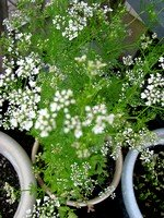 Flowering Cilantro Plant