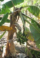 Collapsed banana plant