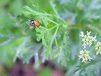 Ladybug on Coriander