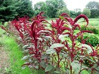 Flowering Amaranth Plants