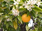 Growing Citrus Trees