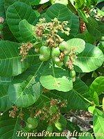 Growing Cashews