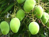 essay on mango tree in english