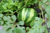A small watermelon