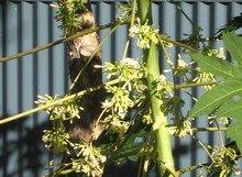 Male Papaya Flowers