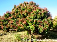 Flowering Mango Tree Flower