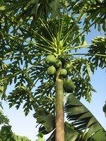 Crown Of A Papaya
