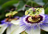 Bee visiting a passionfruit flower.