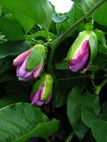 Passionfruit Flower Buds