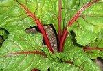 Growing Ornamental Vegetables