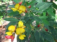 Permaculture Plant: Pigeon Pea