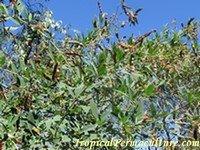 Cajanus cajan shrub