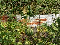 Watermelon on trellis