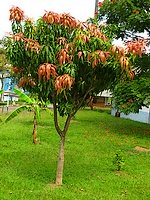 Young Mango Tree