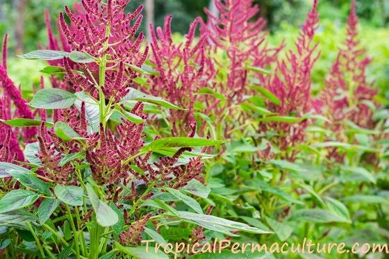 Growing amaranth plants