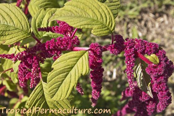 This amaranth flower will soon begin to dry.