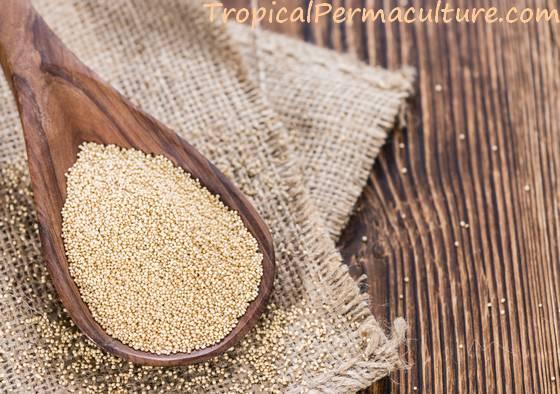 Amaranth grain - the seeds