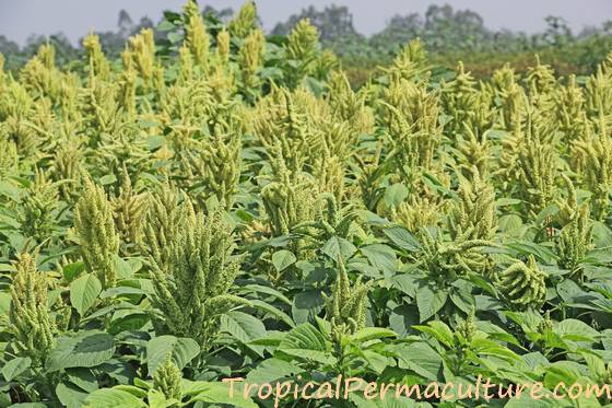 Very tall amaranth plants