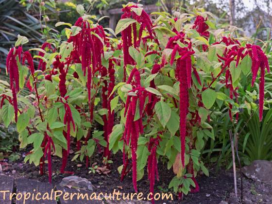 Amaranthus caudatus - Love Lies Bleeding