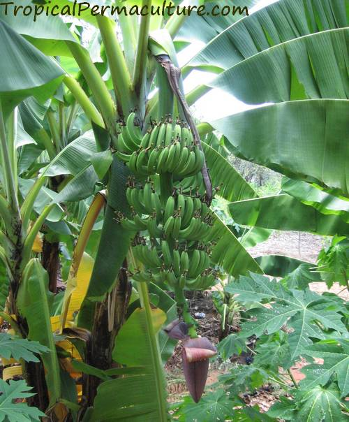 A young banana bunch, all hands exposed.