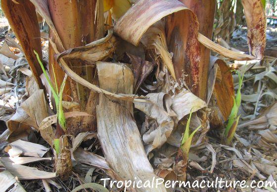 Banana suckers growing at base of plant.
