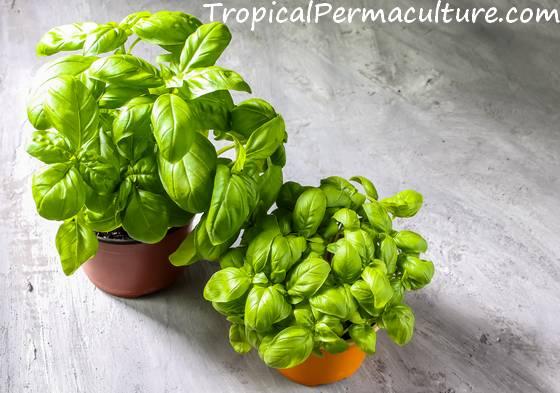 Basil growing in pots