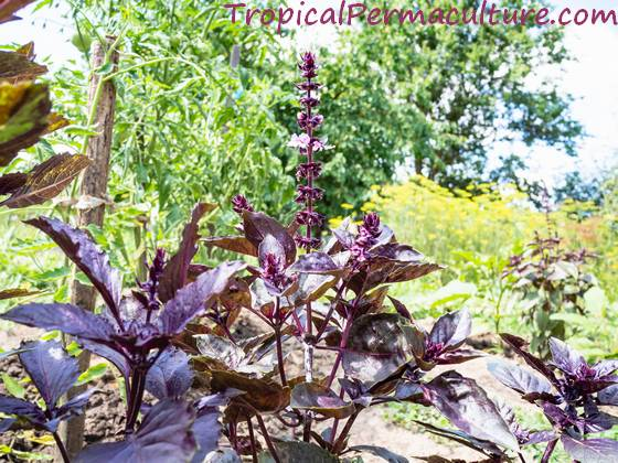 Purple basil growing in the garden