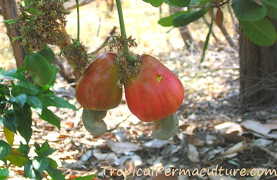 Growing Cashews How To Grow Cashew Trees Nuts And Apples