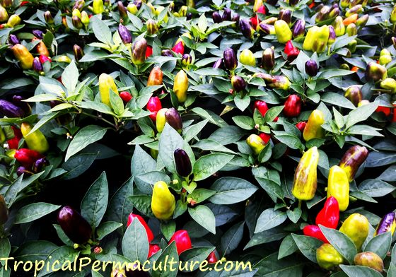 Growing chillies in all colours.