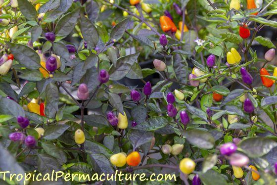 Growing purple chillies.